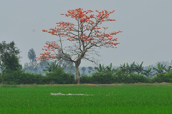 Tháng ba đến đừng bỏ lỡ những địa điểm ngắm hoa gạo nhé
